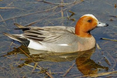 Evenement: Vogelexcursie Kraayenbergse plassen met IVN Cuijk